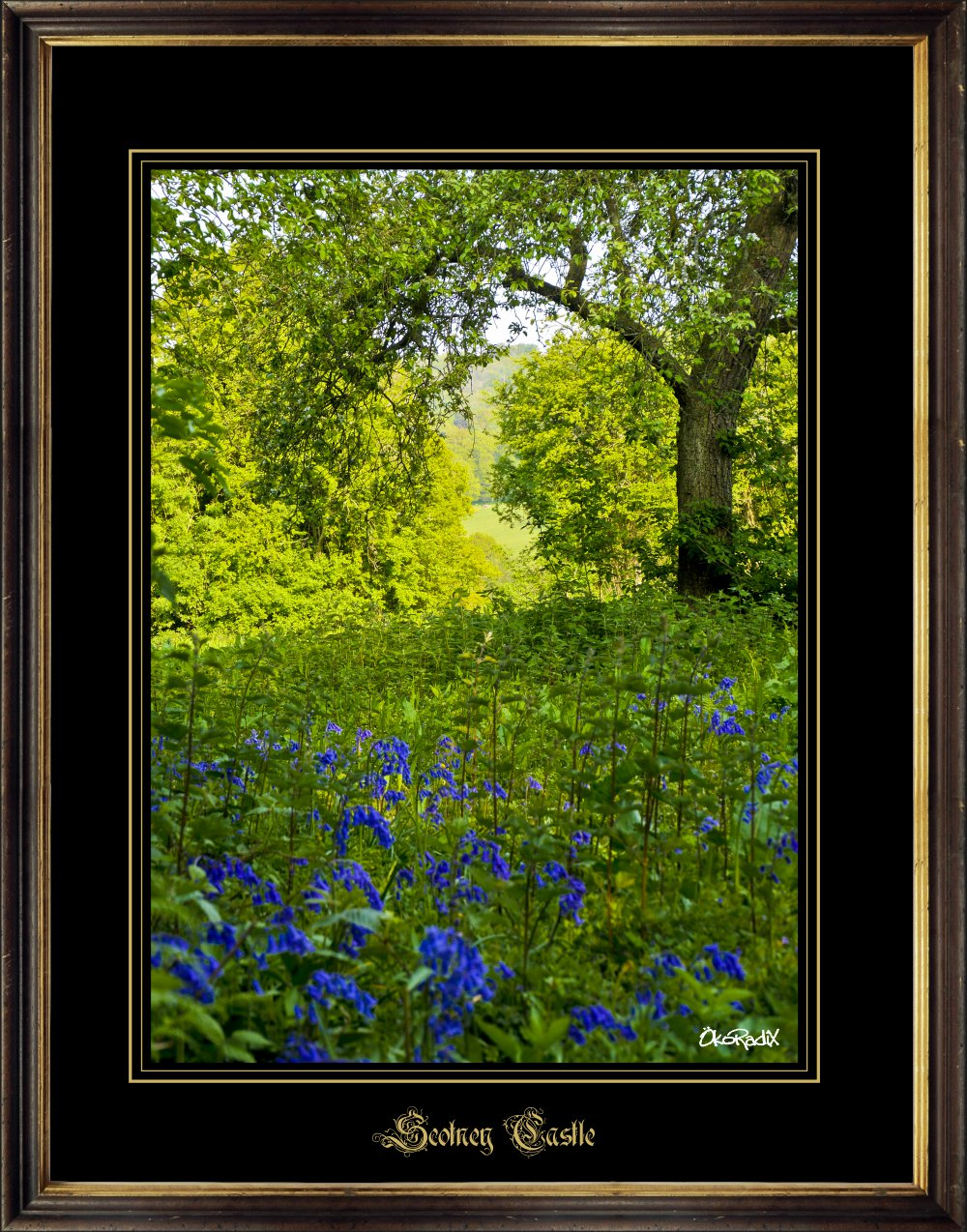 Scotney-blue-bells_1