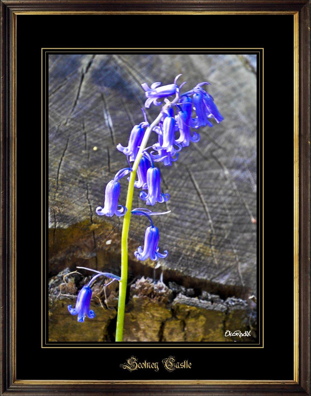 Scotney-blue-bells_2